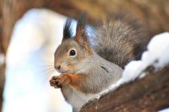 Esquilo vermelho. Fotos de Stock
