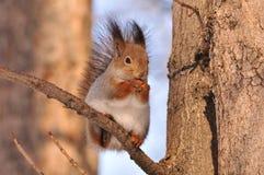 Esquilo vermelho. Imagens de Stock Royalty Free