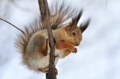 Esquilo vermelho. Imagem de Stock