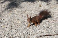Esquilo vermelho Fotos de Stock Royalty Free