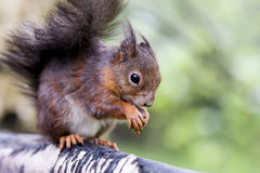 Esquilo vermelho Imagem de Stock