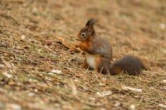 Esquilo vermelho Imagens de Stock Royalty Free