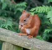 Esquilo vermelho Fotografia de Stock Royalty Free