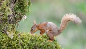 Esquilo vermelho Imagens de Stock
