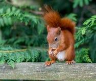 Esquilo vermelho Imagem de Stock Royalty Free