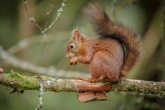 Esquilo vermelho adorável Fotografia de Stock