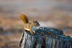 Esquilo vermelho alerta no coto da árvore Fotos de Stock Royalty Free