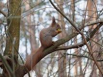 Esquilo vermelho bonito que come a maçã dentro e que levanta no ramo Imagem de Stock