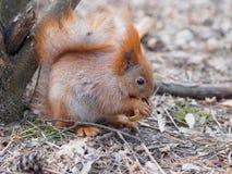 Esquilo vermelho bonito que come a noz humano-como e que levanta na paridade Imagem de Stock Royalty Free
