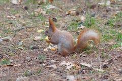 Esquilo vermelho bonito que come o fruto da maçã e que levanta no parque Fotografia de Stock Royalty Free
