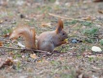 Esquilo vermelho bonito que come o fruto da maçã e que levanta no parque Imagem de Stock Royalty Free