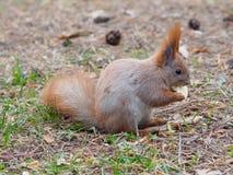 Esquilo vermelho bonito que come o fruto da maçã humano-como e que levanta no th Fotografia de Stock