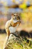Esquilo vermelho bonito que come a porca Fotos de Stock Royalty Free