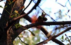 Esquilo vermelho com as porcas em sua boca Imagem de Stock Royalty Free