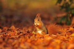 Esquilo vermelho com a avelã nas folhas Fotografia de Stock Royalty Free
