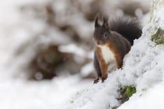 Esquilo vermelho com pés frios Fotos de Stock