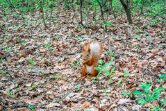 Esquilo vermelho com a porca na floresta Imagem de Stock Royalty Free