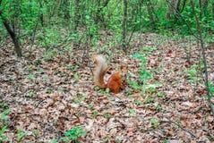 Esquilo vermelho com a porca na floresta Imagem de Stock