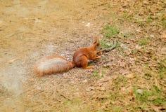 Esquilo vermelho com a porca na floresta Fotografia de Stock