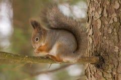 Esquilo vermelho com revestimento do inverno Fotografia de Stock