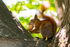 Esquilo vermelho com uma noz na árvore fotos de stock