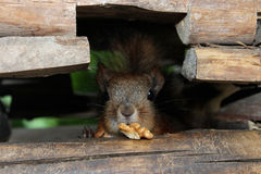Esquilo vermelho com uma porca no risco de madeira Fotos de Stock Royalty Free