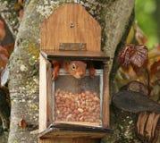 Esquilo vermelho dentro do alimentador do amendoim Imagem de Stock