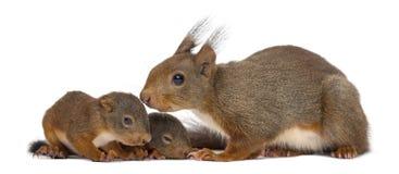 Esquilo vermelho e bebês da mãe fotografia de stock royalty free