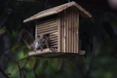 Esquilo vermelho em pendurar Cedar Bird Feeder Fotos de Stock Royalty Free