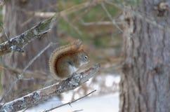 Esquilo vermelho em um ramo de ?rvore fotos de stock royalty free