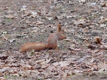 Esquilo vermelho engraçado com a cara assustador que levanta no parque Foto de Stock Royalty Free