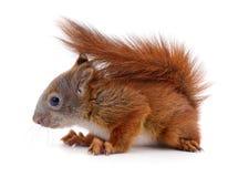 Esquilo vermelho euro-asiático Foto de Stock Royalty Free
