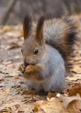 Esquilo vermelho euro-asiático Fotografia de Stock