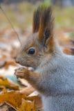 Esquilo vermelho euro-asiático Fotografia de Stock Royalty Free