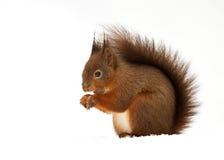 Esquilo vermelho euro-asiático (Sciurus vulgar) Imagens de Stock