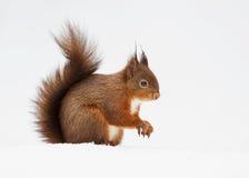 Esquilo vermelho euro-asiático (Sciurus vulgar) Imagens de Stock Royalty Free