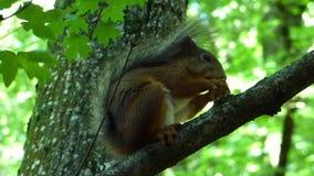 Esquilo vermelho euro-asiático (Sciurus vulgar) que senta-se no ramo e que come a porca filme