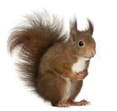 Esquilo vermelho euro-asiático, Sciurus vulgaris imagem de stock