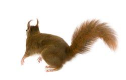 Esquilo vermelho euro-asiático - Sciurus vulgaris (2 anos) imagens de stock