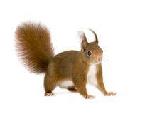 Esquilo vermelho euro-asiático - Sciurus vulgaris (2 anos) imagem de stock royalty free