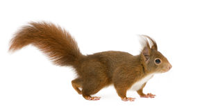 Esquilo vermelho euro-asiático - Sciurus vulgaris (2 anos) imagem de stock
