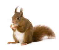 Esquilo vermelho euro-asiático - Sciurus vulgaris (2 anos) fotografia de stock