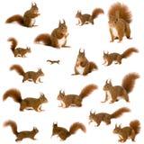 Esquilo vermelho euro-asiático - Sciurus vulgaris (2 anos)