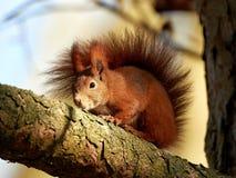 Esquilo vermelho euro-asiático (Sciurus vulgaris) Foto de Stock Royalty Free