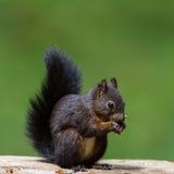 Esquilo vermelho euro-asiático (Sciurus vulgaris) Fotografia de Stock Royalty Free