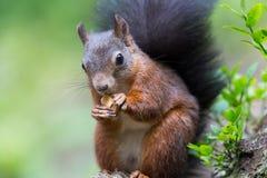 Esquilo vermelho euro-asiático (Sciurus vulgaris) Imagem de Stock