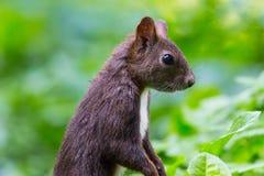 Esquilo vermelho euro-asiático (Sciurus vulgaris) Imagens de Stock Royalty Free