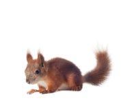 Esquilo vermelho euro-asiático - vulgar do Sciurus isolado Fotos de Stock Royalty Free