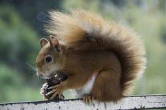 Esquilo vermelho europeu Fotografia de Stock