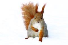 Esquilo vermelho na árvore Imagem de Stock